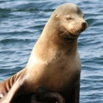 Dana Point Sea Lion